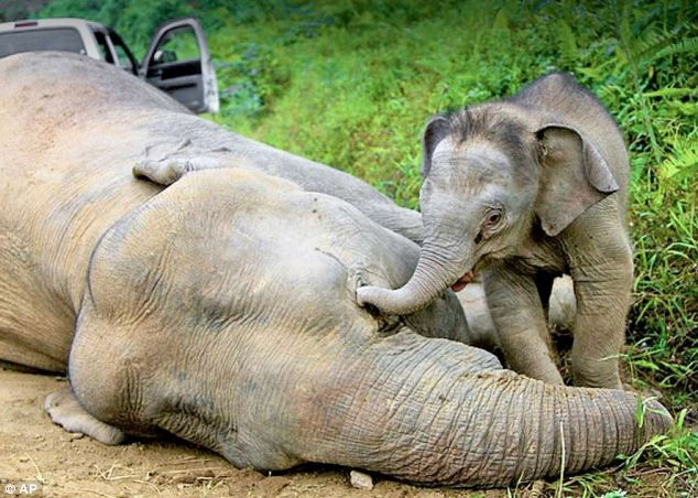 Baby elephant trying to wake it's dead mother.