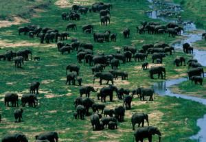 Many-elephants_Foley-600x414